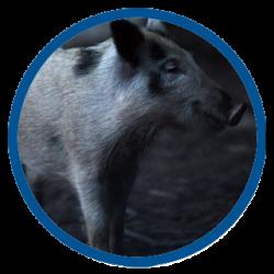 Wild Boar Cub