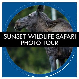 Stockholm Gay Tours – Sunset Wildlife Safari Photo Tour